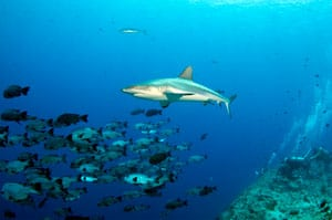 shark-and-fish-on-reef.jpg